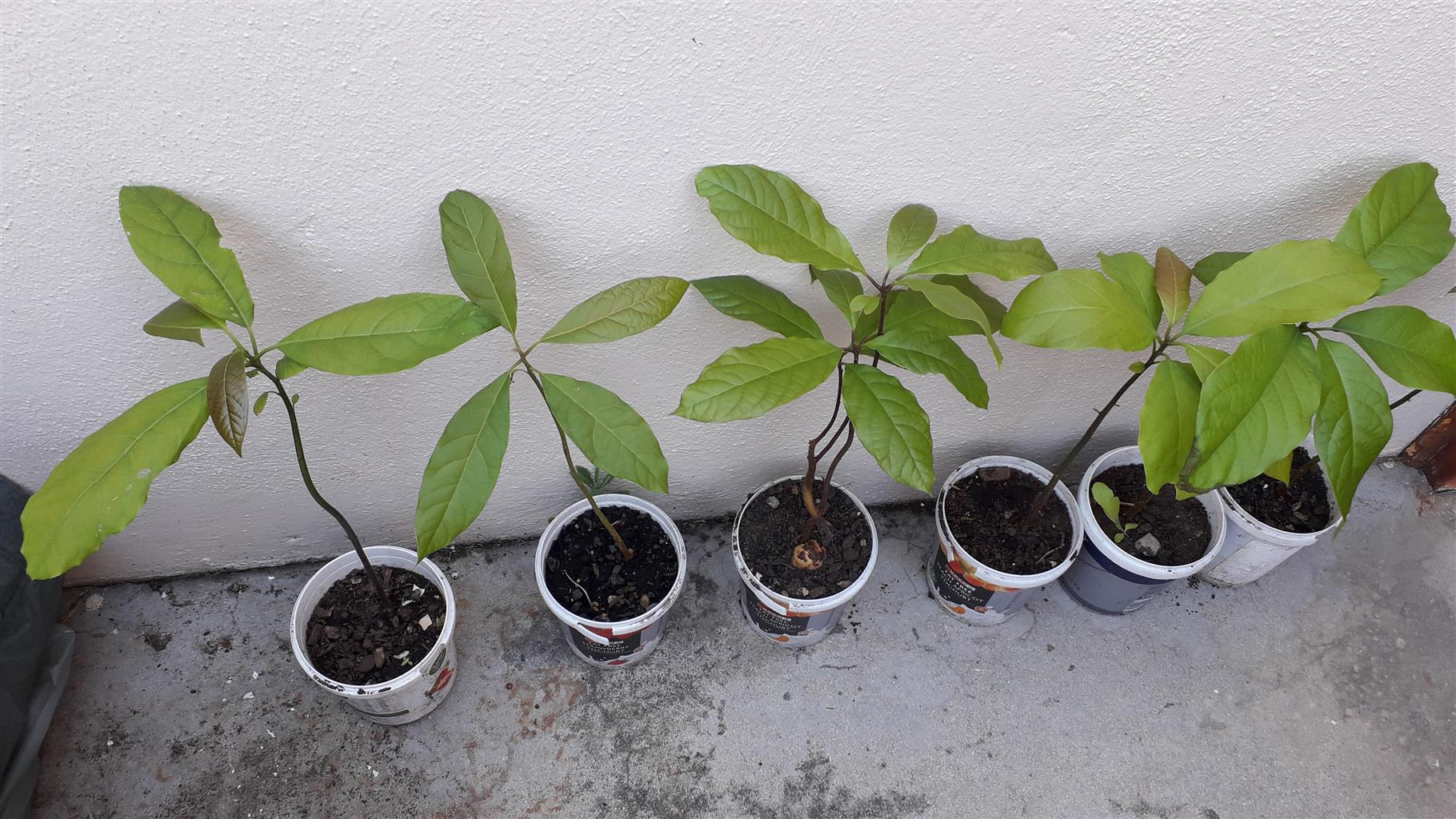 Avocado plants for sale at R30 each. Organically grown.