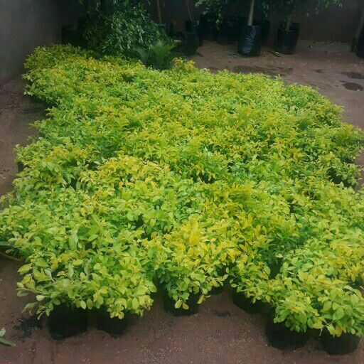 DURANTAS ERACTA HEDGE PLANTS FOR SELL
