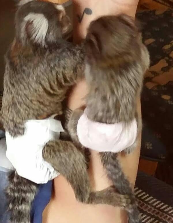 Monkeys nappies disposable
