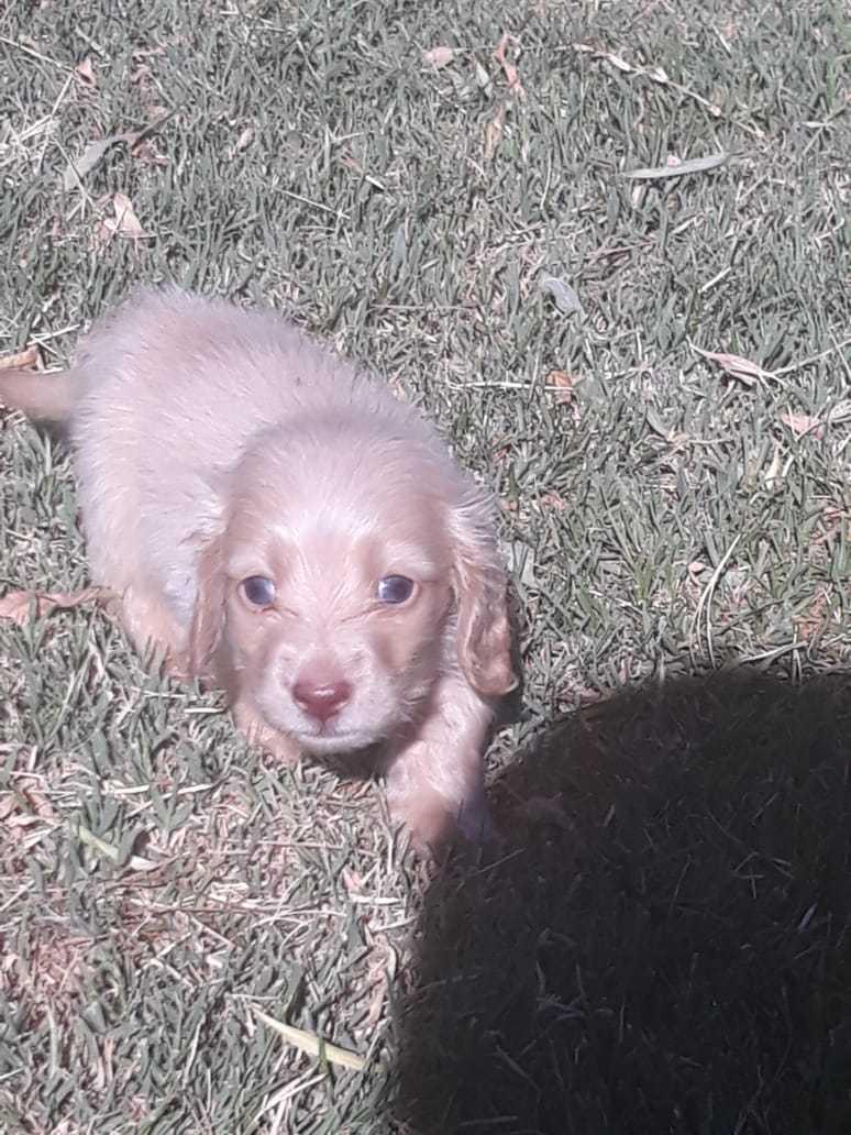 Dushund Longhair cream puppy for sale