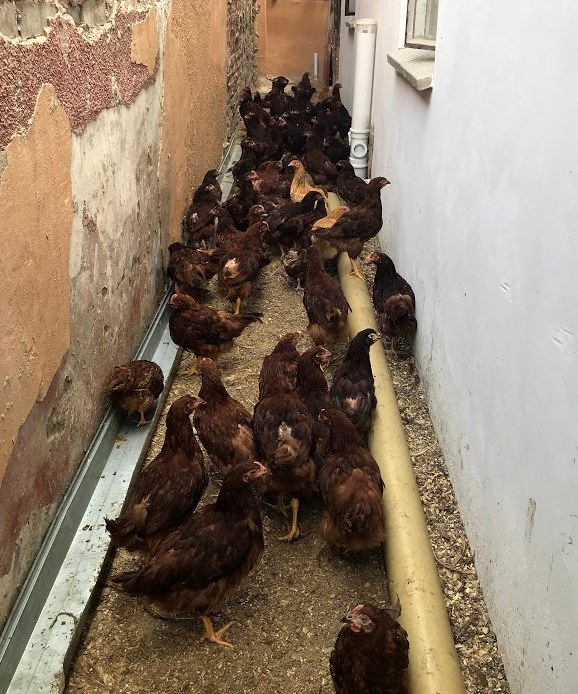 3-4 MONTHS OLD CHICKENS