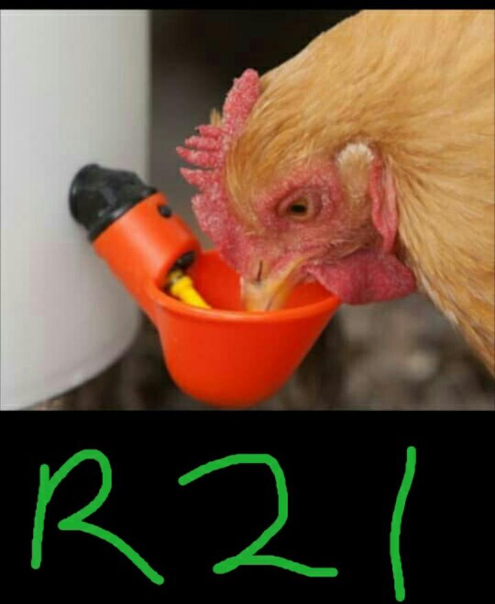 Chicken drinker