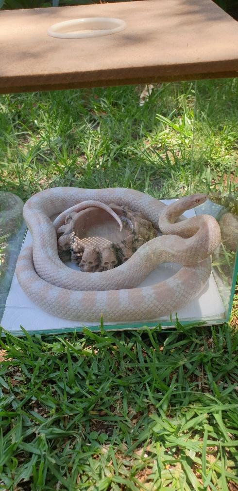 Female Albino Corn Snake 105cm with cage
