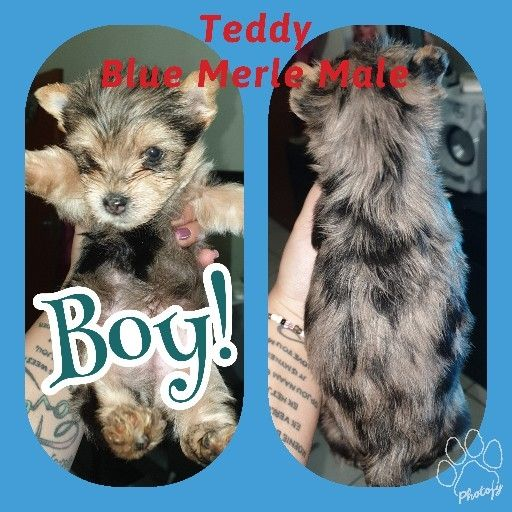 Registered Miniature Yorkshire Terrier
