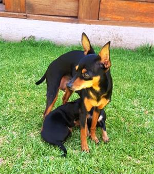 Miniature Doberman Pinscher