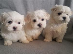 3 Maltese Puppies Nonshedding 8 weeks Ready now