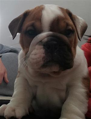 Champion breed Bulldog Puppies for sale