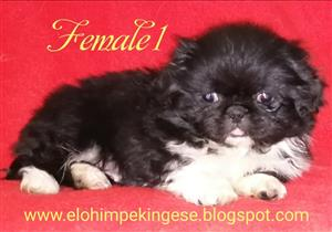 you could win 7 000 00 a week pekingese in dogs and puppies in south africa junk mail 6694