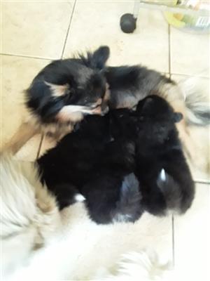 Pomeranian Tri-colour Male Puppy