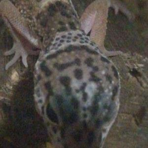 Two leopard geckos for sale with enclosure