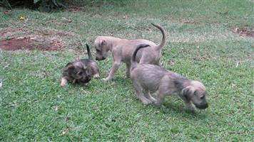 Beautiful Jack Schnauzer Puppies for sale