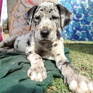 Purebred Great Dane Merle Puppies