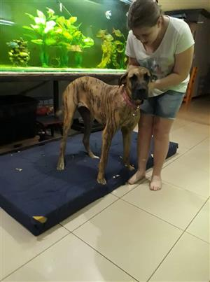 Great Dane Female looking for loving home