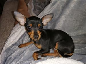 Miniature pinscher male
