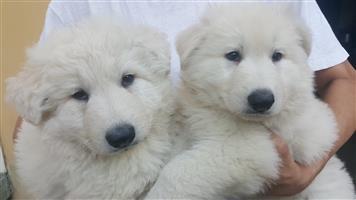 Sheperd Puppies