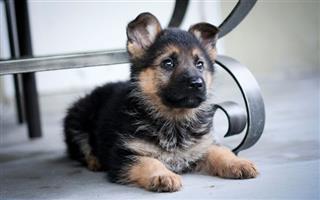 Beautiful  thoroughbred German Shepherd puppies for sale