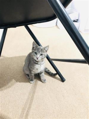 Gorgeous grey kitten looking for a home