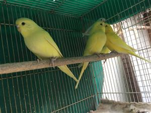 Yellow Budgies available