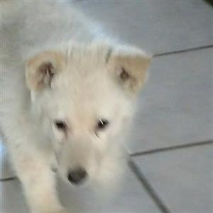 Siberian Huskies white puppies