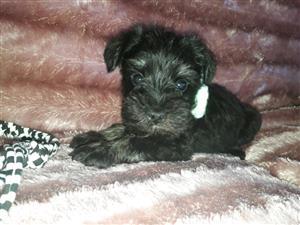 Miniature schnauzermale puppys for sale
