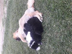 2 Pekingese pups