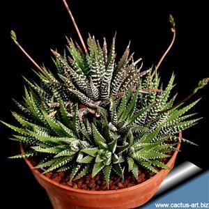 Haworthia plantjies GRATIS
