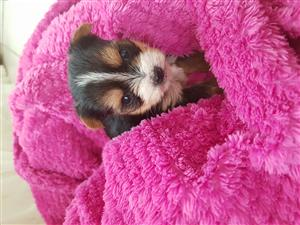 Teacup yorkie puppy (R3500)