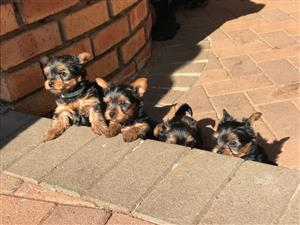 Beautiful Minuture Yorkie Puppies For sale
