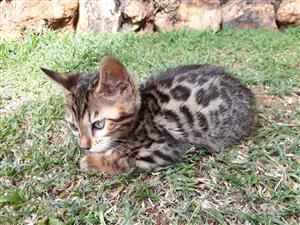 Brown Rosette Bengal Kittens