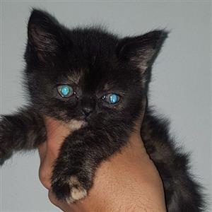 Beautiful big fluffy main coon cross Persian kittens available