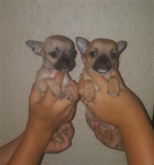 Chihuahua male puppies