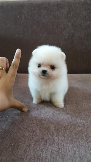 Small Pomeranian puppies available