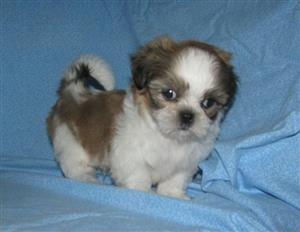 Shih Tzu Puppies For Sale KUSA Registered