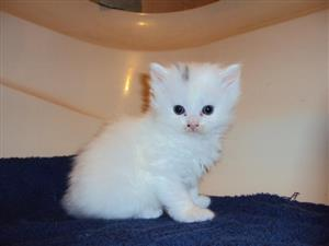8 Weeks Old Persian Kittens Ready For Good Homes Now
