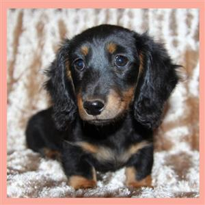 Female Longhaired Dachshunds For Sale
