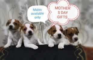 minature jack russell male puppies