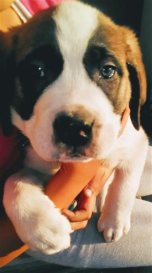 St Bernard short coat puppies