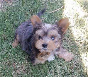 Beautiful Merle Yorkie puppies