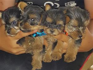 Yorkie puppies - Brakpan