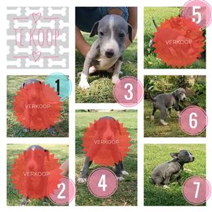 Italian greyhound puppies / Italiaanse Windhond