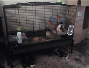 Guinea pigs with huge cage!