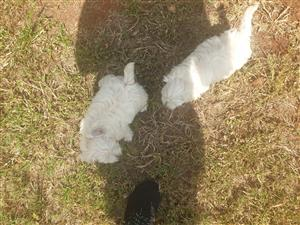 Maltese mini pups