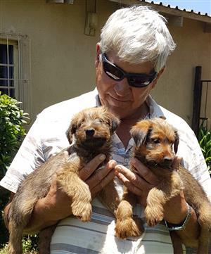 Irish Terrier Puppies for Sale