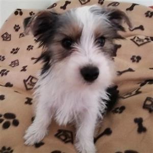Yorkshire terrier reuntjie