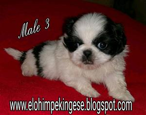 4 Pekingese females for R1 900 and 2 males for R1 200