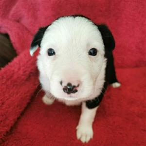 Beautiful purebred Border Collies for sale