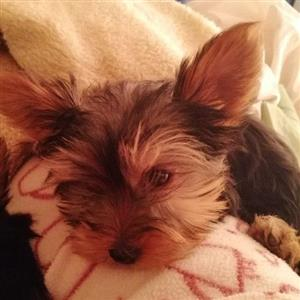 yorkshire Terrier Puppies - Yorkie