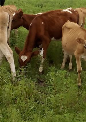 Two Ayrshire Heifer Calves