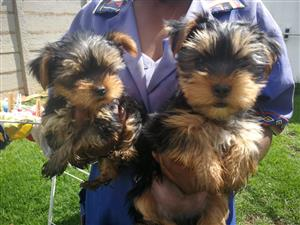 Registered Small Yorkie Boys (1 normal and 1 Pocket)