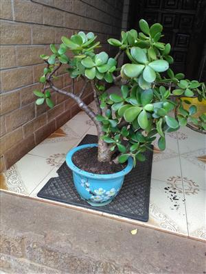 Jade plant in beautiful ceramic pot. Bonsai. R250